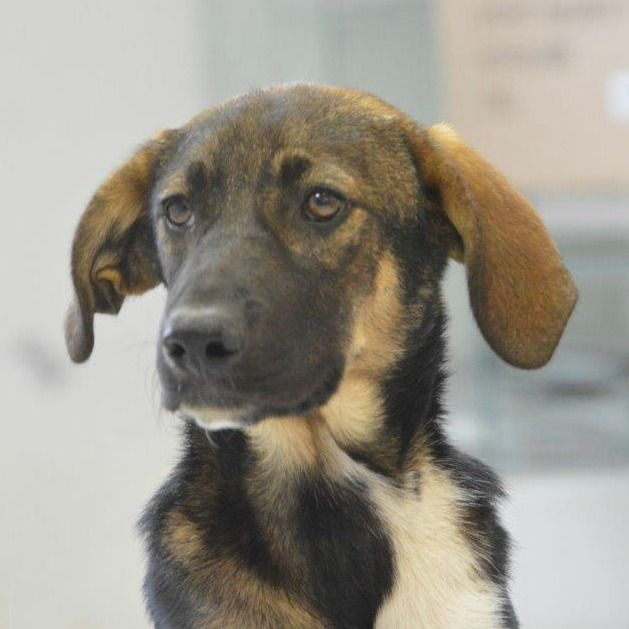 Rescueyhdistys Kulkurit, Romanian koira, eläinsuojelu