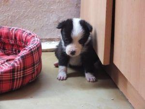 Tarhan portille 24.9 hylätty koiranpentu, joka on nyt turvassa Suflete Dragin tarhalla.