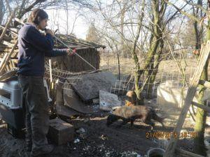 Eläinlääkäri Rosu Ovidiu nukuttamassa koiria 21.2.
