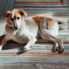 Kotia etsivä koira: GIIA (nyk. Gerda Linnea) Suomessa