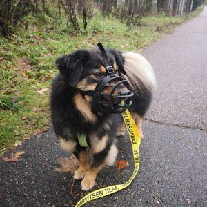 Kuonokoppa koiralla