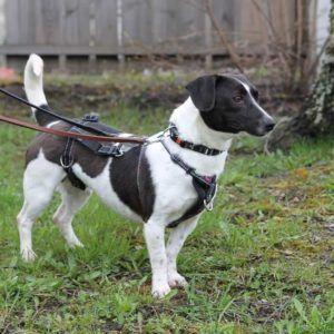 Koira, jonka yllä on kolminkertainen turvavaruste. Termi selitetään tarkemmin leipätekstissä.