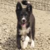Kotia etsivä koira: MIRA BLACK