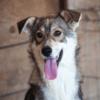 Kotia etsivä koira: SAIMA (Runotytöt)